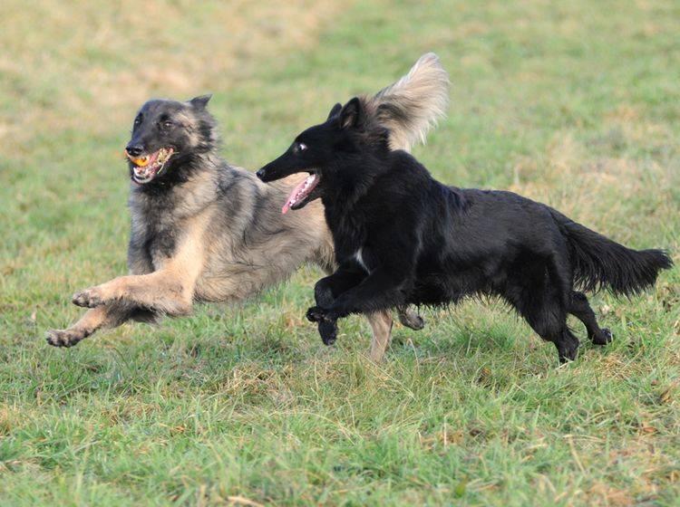 Tervueren und Groenendael, zwei Typen des Belgischen Schäferhunds – Bild: Shutterstock / Rolf Klebsattel