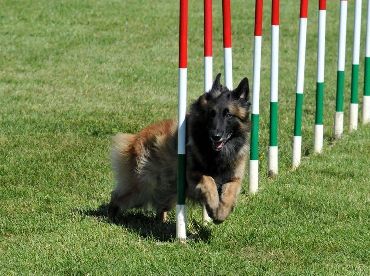 Bei der Haltung des Belgischen Schäferhunds sollten Sie vor allem Zeit und Platz einplanen – Bild: Shutterstock / Rolf Klebsattel