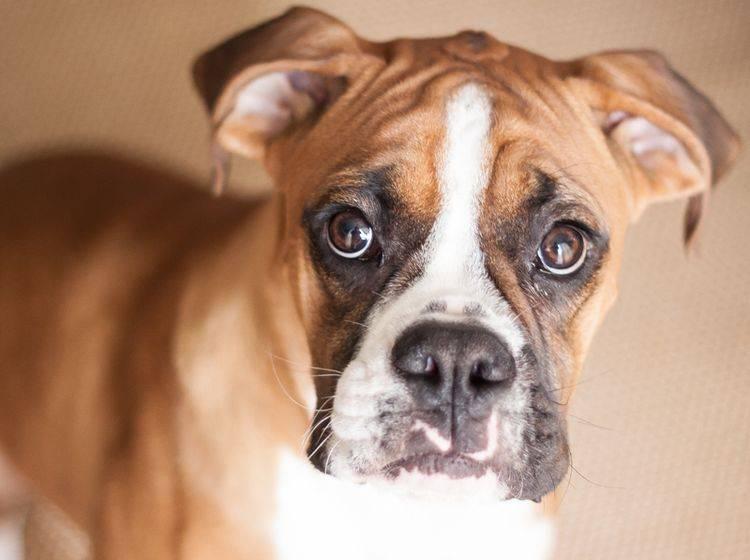Der Charakter des Boxers ist willensstark, mutig und sehr familienfreundlich – Bild: Shutterstock / Michael Lofenfeld