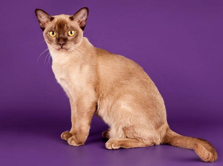 Geschichte: Die süße Burma-Katze stammt aus Südostasien – Bild: Shutterstock / mdmmikle