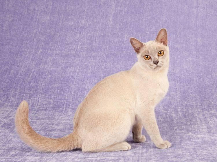Das Wesen der Burma-Katze ist dem der Siam durchaus ähnlich – Bild: Shutterstock / Linn Currie