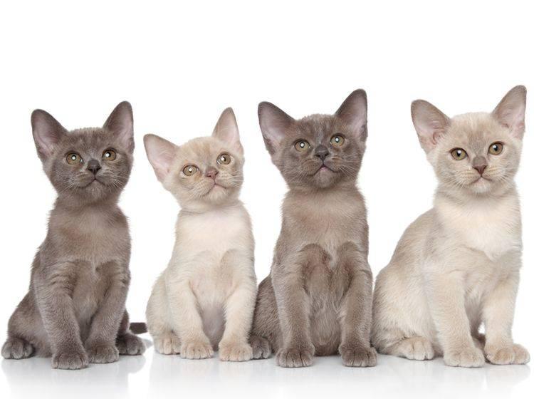 Bei der Erziehung der Burma-Katze sollten Sie ihren Aktivitätsdrang beachten – Bild: Shutterstock / Jagodka