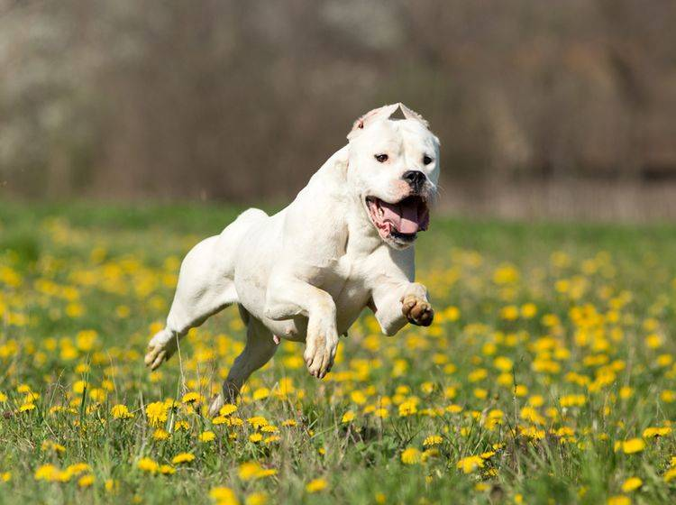 Die Haltung des Dogo Argentino ist sehr zeitaufwendig – Bild: Shutterstock / Budimir Jevtic