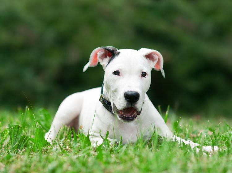 Einen Dogo Argentino zu erziehen, ist nicht ganz einfach – Bild: Shutterstock / dean bertoncelj