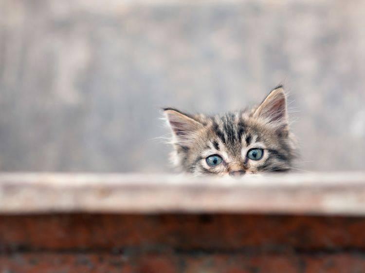 Ein wenig skeptisch wirkt das süße Kitten noch – Bild: Shutterstock / -pio3