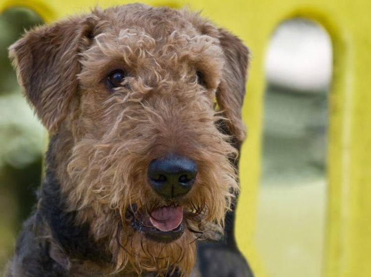 Ein lebhaftes Kerlchen: Der Airedale Terrier – Bild: Shutterstock / Gina Callaway