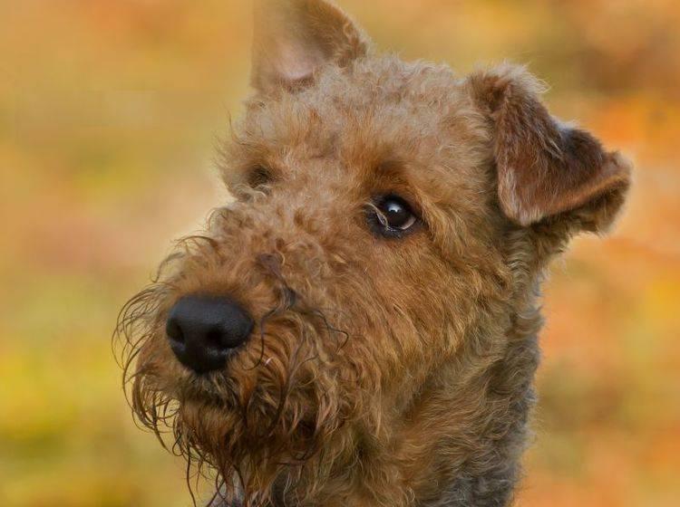 Der Airedale Terrier ist kein Fan von Langeweile – Bild: Shutterstock / Burry van den Brink