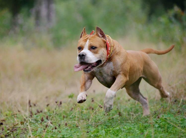 Viel Auslauf ist wichtig für die Haltung des American Staffordshire Terrier – Bild: Shutterstock / Olga_i