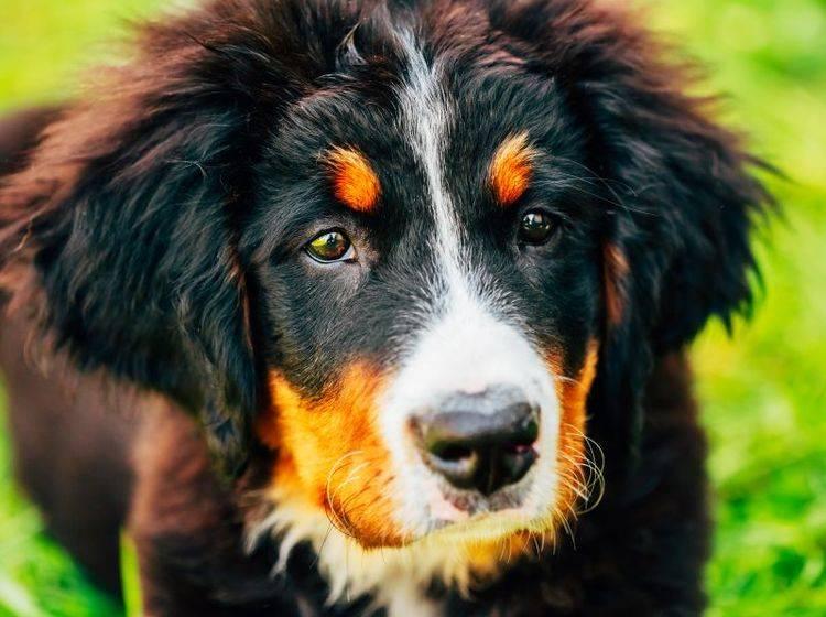 Bestimmte Hunderassen sind leider besonders anfällig für HD – Bild: Shutterstock / Grisha Bruev