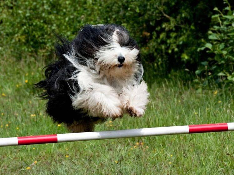 Hui! Wie man sieht: Unsportlich ist der Bobtail nicht! – Bild: Shutterstock / Dave Green