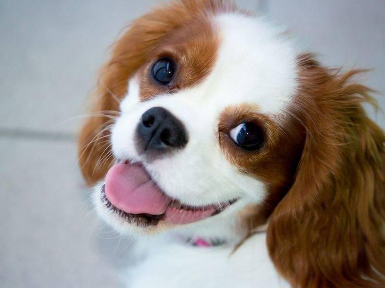 Der Cavalier King Charles Spaniel ist ein toller Anfängerhund – Bild: Shutterstock / Petr Lerch