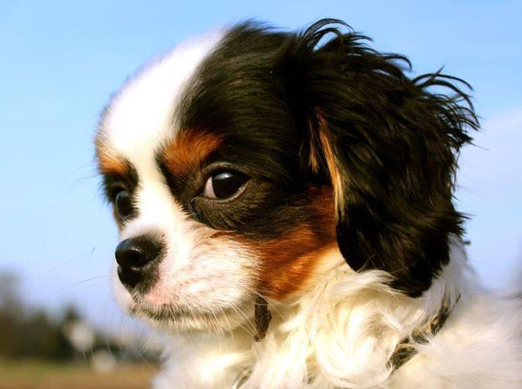 Anhänglich und freundlich: Der Cavalier King Charles Spaniel – Bild: Shutterstock / pixeldreams.eu