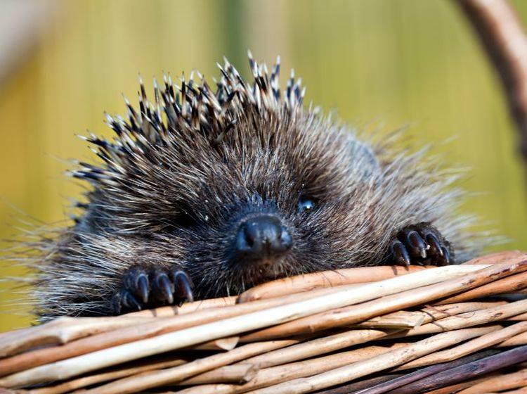 Beliebt trotz Stachelkleid: Der Igel – Bild: Shutterstock / Oleg Kozlov