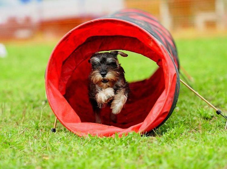 Fitness für Hunde mit Hürden und Tunneln – Bild: Shutterstock / Mikel Martinez