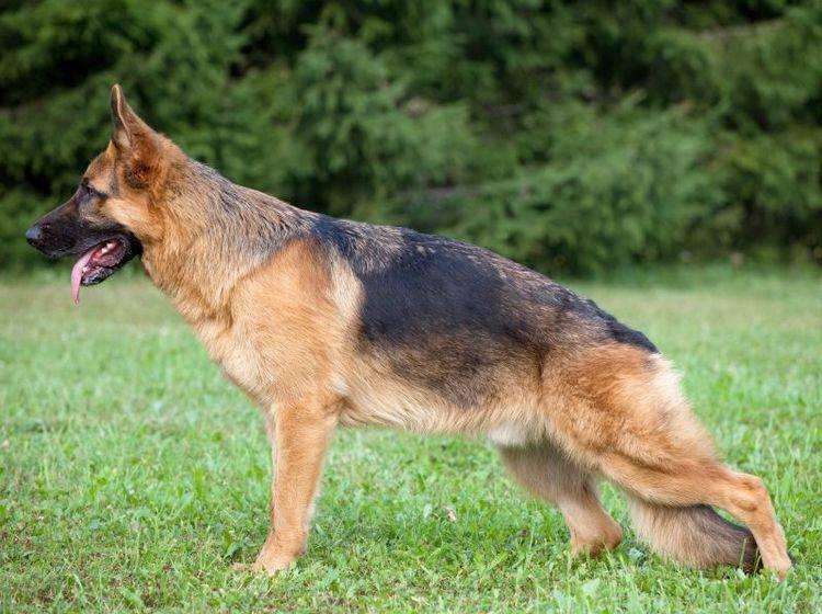 HD beim Hund kann sich durch Veränderungen in Haltung und Bewegungsablaug zeigen – Bild: Shutterstock / Nikolai Tsvetkov