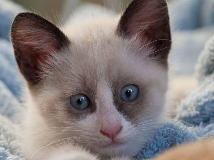 Die Snowshoe ist eine sehr hübsche Katze – diese hier ist noch ganz klein – Bild: Shutterstock / A. Vasilyev