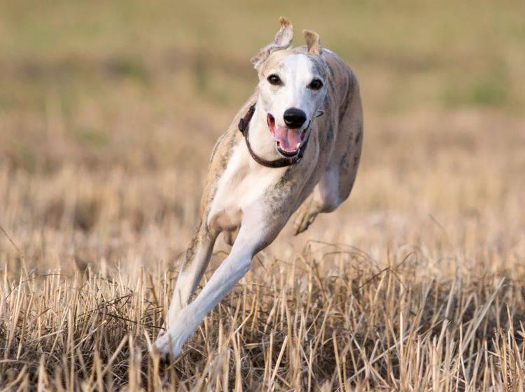 Als Windhund liebt der Whippet es, zu rennen – Bild: Shutterstock / DragoNika