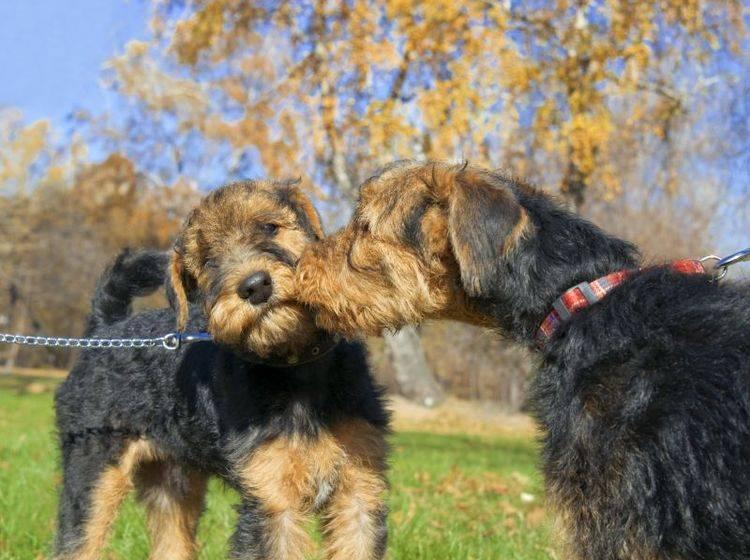 Da Airedale Terrier zu dominanten Verhalten neigen können, ist gute Sozialisierung wichtig – Bild: Shutterstock / tandemich