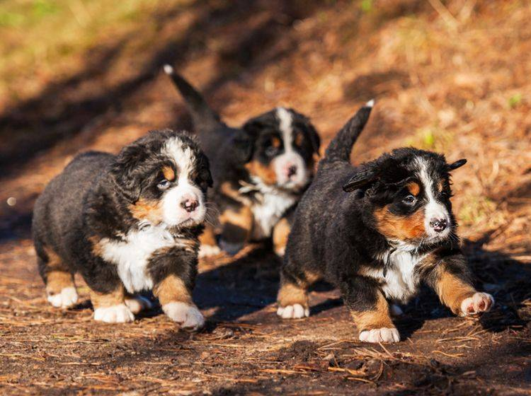 Der liebe Berner Sennenhund neigt bei der Erziehung manchmal zu Sturheit – Bild: Shutterstock / Rita Kochmarjova