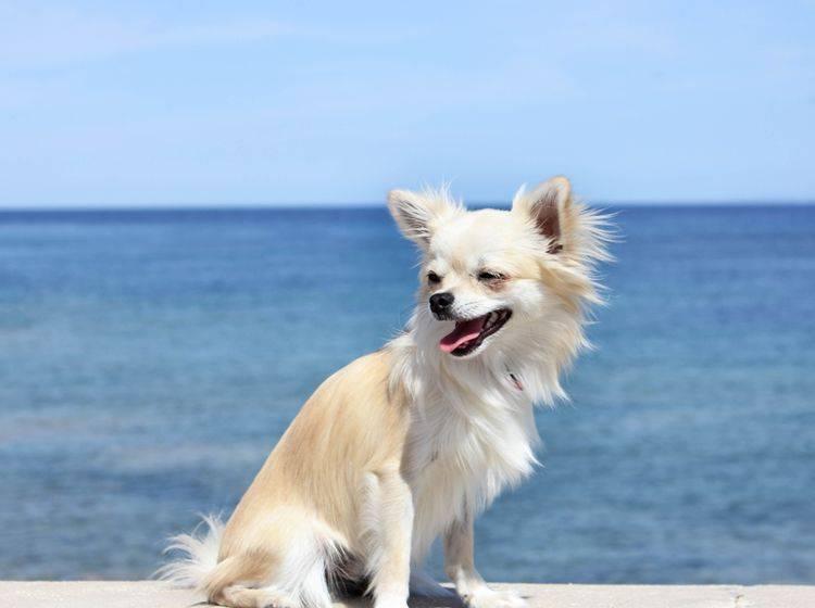Was für ein malerisches Bild der süße Chihuahua vor dem Meer abgibt – Bild: Shutterstock / Julia Wolff