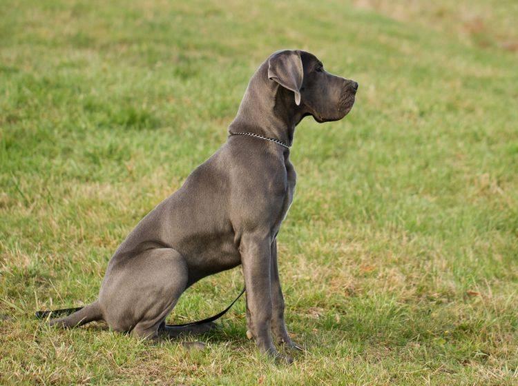 Die Erziehung einer Deutschen Dogge erfordert Expertise – Bild: Shutterstock / MF Photo