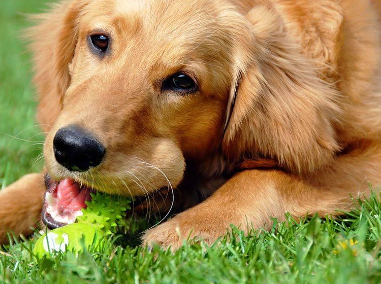 Hundespielzeug in Knochenform: Schöne Ideen – Bild: Shutterstock / Julija Sapic
