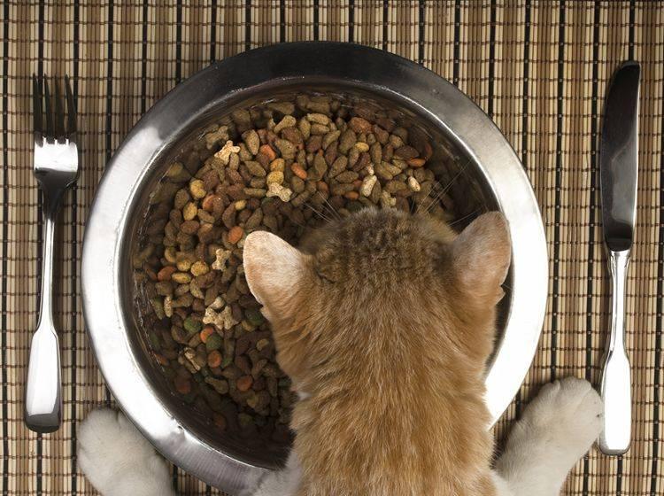 Welche Ernährungsbedürfnisse haben Stubentiger? – Bild: Shutterstock / Antlio