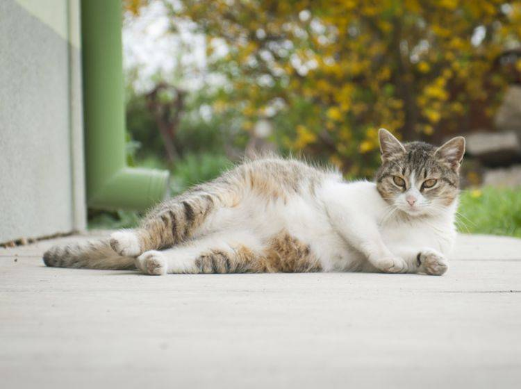 Lassen Sie Ihrer trächtigen Katze vor allem Raum und Ruhe – Bild: Shutterstock / Lilla Czesznak