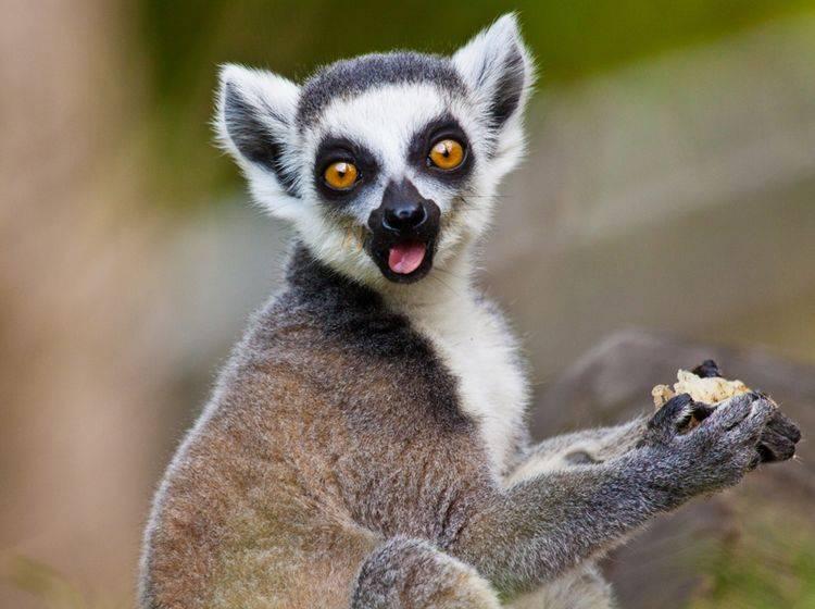 Kattas gehören zu den bekanntesten Lemuren-Unterarten – Bild: Shutterstock / Jearu