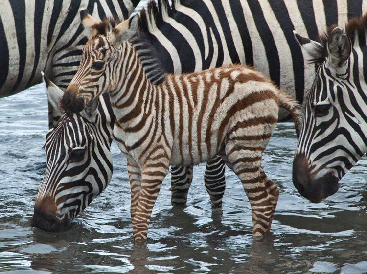 Dieses junge Steppenzebra hat eine helle Fellfärbung – Bild: Shutterstock / Gary C. Tognoni