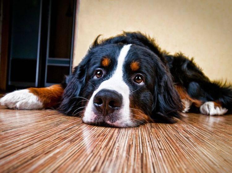 Ein erkälteter Hund wirkt meist lustlos und müde – Bild: Shutterstock / LovelyColorPhoto