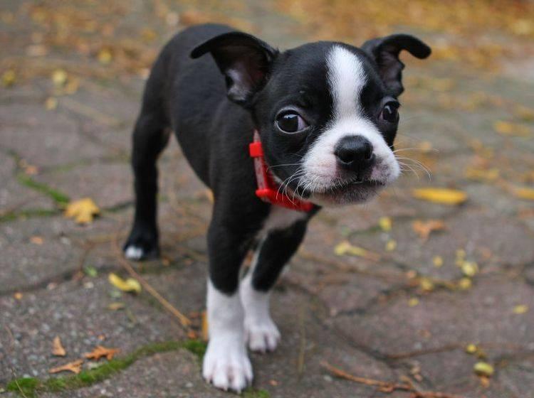 Der Boston Terrier ist eine treue Seele – Bild: Shutterstock / Ron Rowan Photography