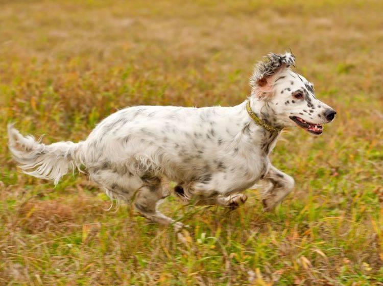 Der English Setter liebt es, sich auszutoben – Bild: Shutterstock / Glenkar