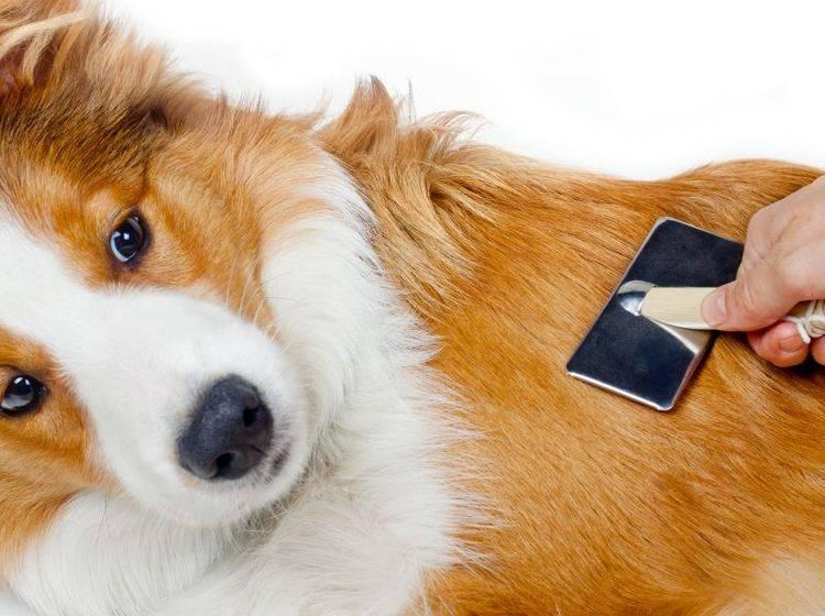 Haarausfall beim Hund kann verschiedene Ursachen haben – Bild: Shutterstock / mariait