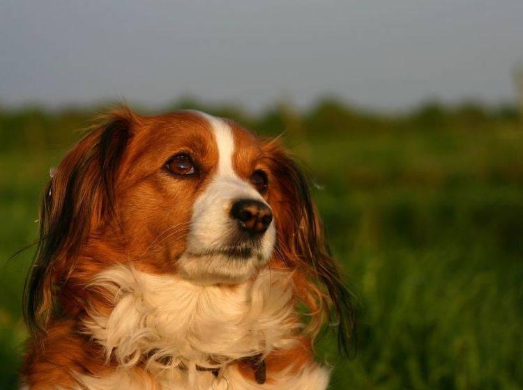 Beliebter Familienhund: Der Kooikerhondje gilt als sanftmütig und freundlich – Bild: Shutterstock / E.-Spek