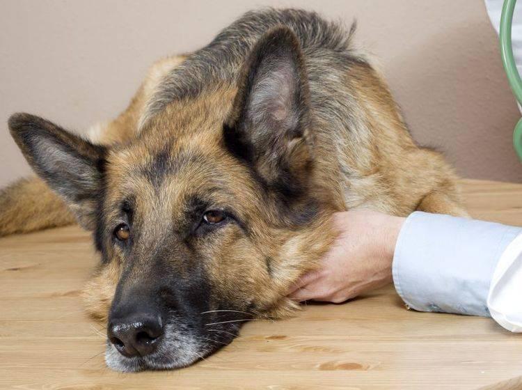 kranker-schaeferhund-shutterstock-oger costa morera