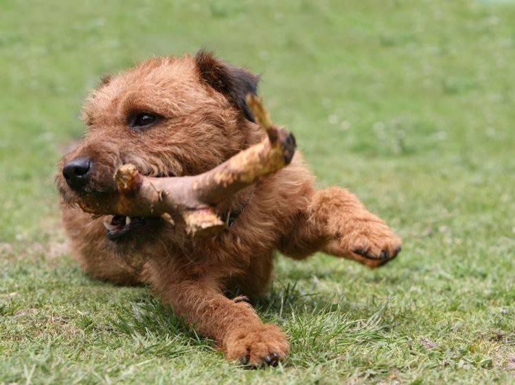 Richtige Haltung: Spielen findet der Lakeland Terrier klasse! – Bild: Shutterstock / mjt