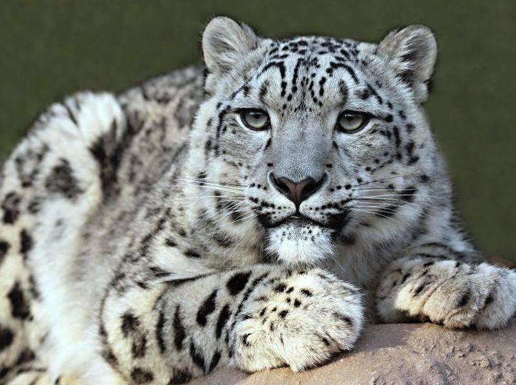 Mit seinem dichten Fell ist der Schneeleopard bestens gerüstet für die kalte Jahresezeit – Bild: Shutterstock / Mirek Srb