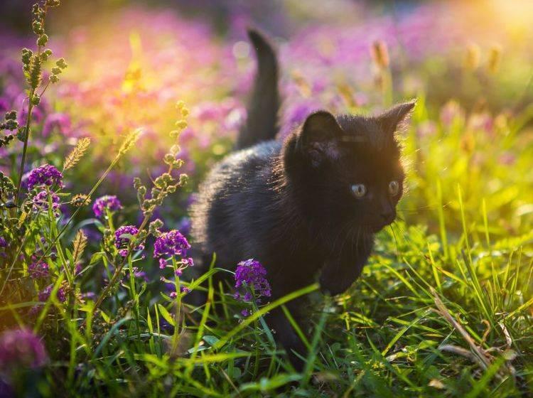 Toben in hohem Gras: Das macht Katzen Spaß! – Bild: Shutterstock / Mel nik