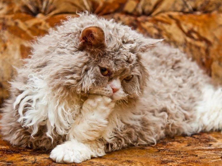 Verspielt und lieb: Die Selkirk Rex – Bild: Shutterstock / Immagy