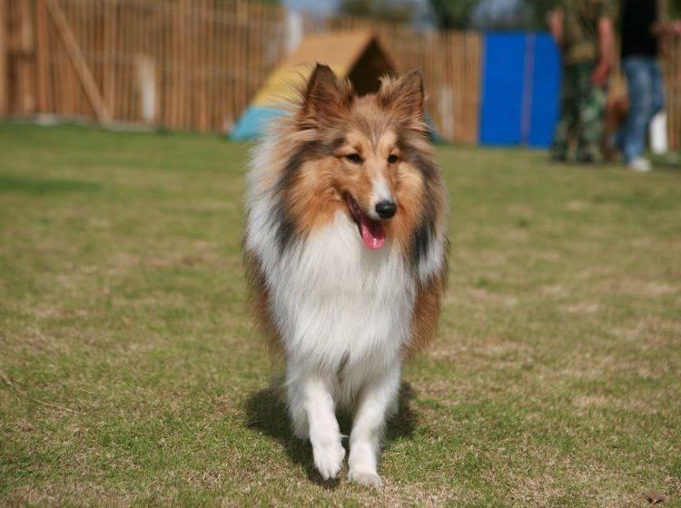 Der Shetland Sheepdog ist ein sehr gelehriger Hund – Bild: Shutterstock / zhu difeng