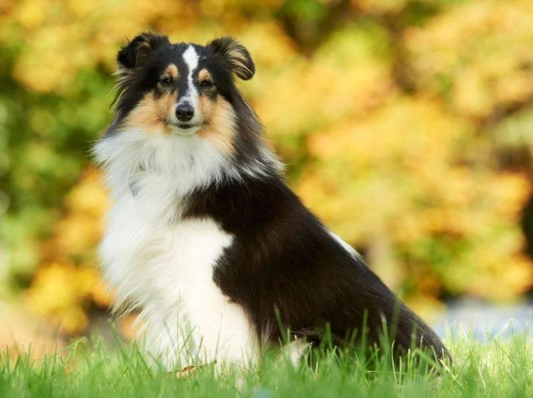 Anhängliche kleine Sportskanone: Der Shetland Sheepdog – Bild: Shutterstock / Dmitry Kalinovsky