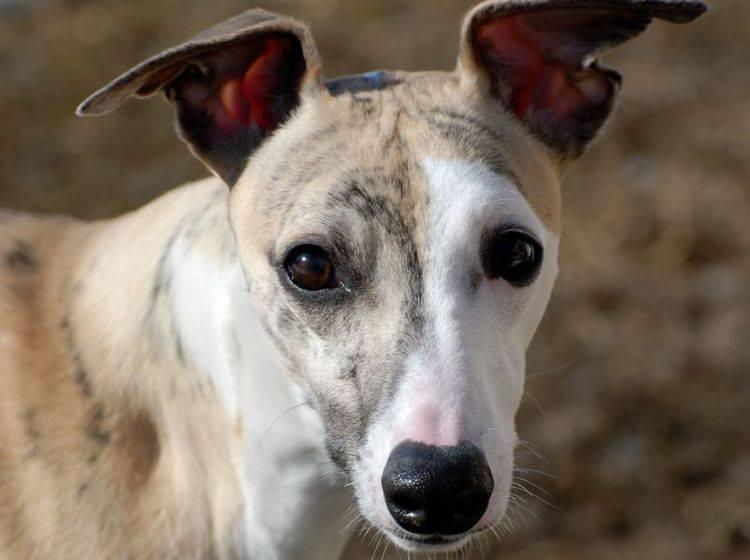 Als ruhiger und anschmiegsamer Vierbeiner, ist der Whippet ein beliebter Familienhund – Bild: Shutterstock / Brian Rome