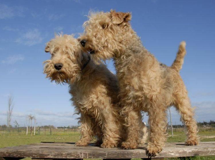 Junge Lakeland Terrier haben einiges zu lernen – Bild: Shutterstock / cynoclub