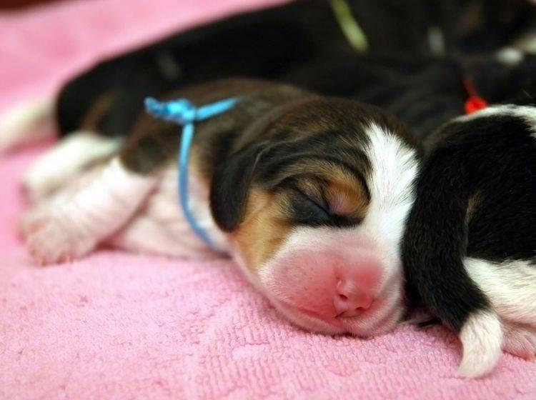 Putzig: Diese süßen Beagle-Welpen sind noch ganz klein – Bild: Shutterstock / Taiftin