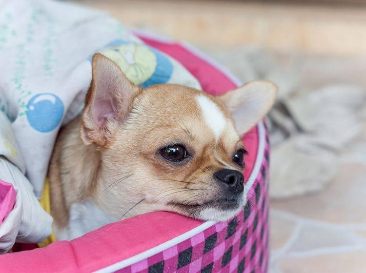 Ein Hund mit einer Erkältung braucht viel Ruhe – Bild: Shutterstock / anuruk perai