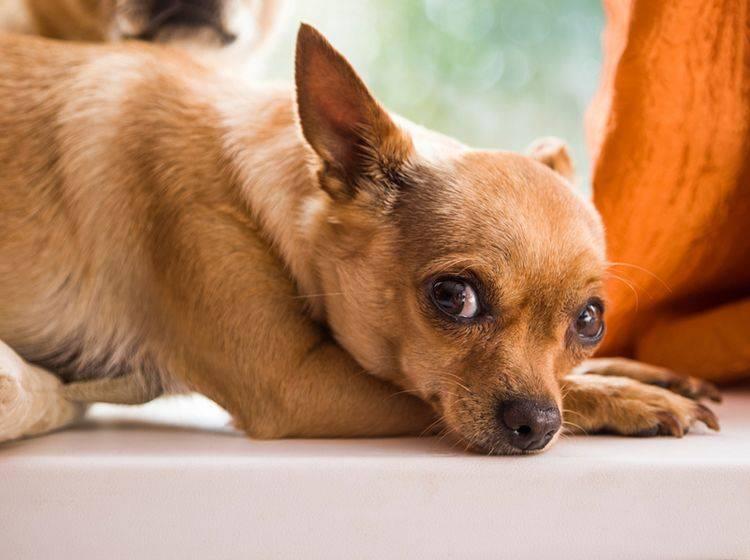 Eine schnelle Behandlung ist bei einem Hund mit Blutvergiftung elementar – Bild: Shutterstock / pixbull