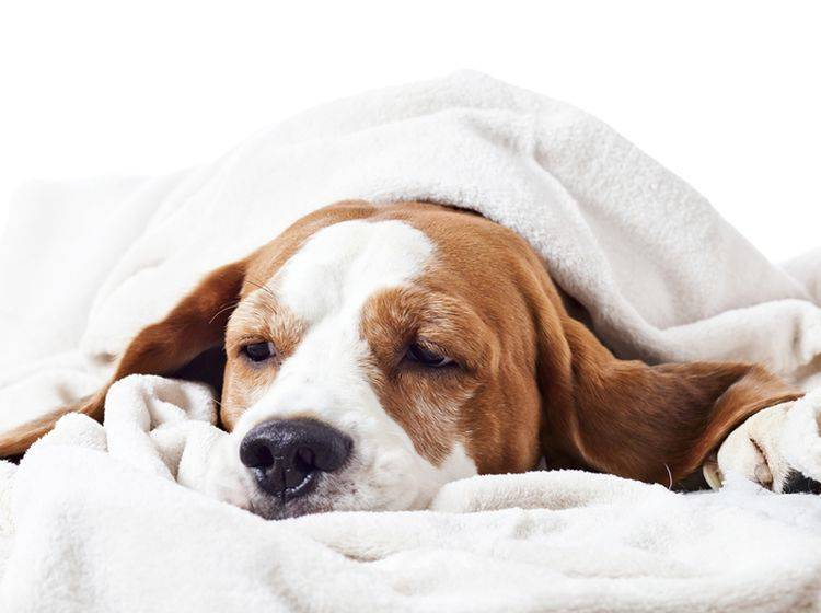 Wenn Ihr Hund einen Schock hat, ist schnelles Handeln gefragt – Bild: Shutterstock / Igor Normann