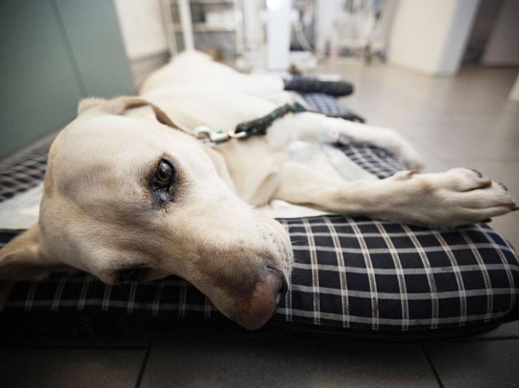 Wenn Sie Hautpilz bei Ihrem Hund erkennen, sollten Sie schnell mit ihm zum Arzt – Bild: Shutterstock / Jaromir Chalabala