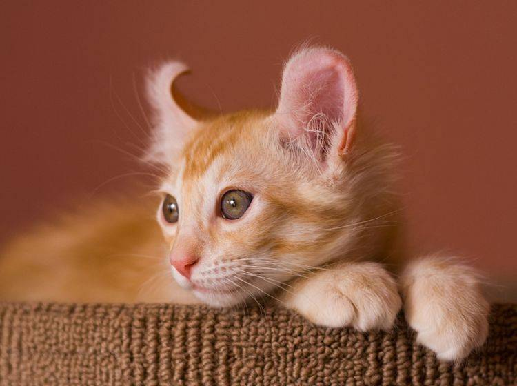 Entstanden ist die schöne American Curl Cat aus einer Genmutation – Bild: Shutterstock / Vasiliy Khimenk